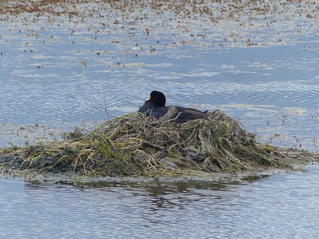 Giant Coot and Nest