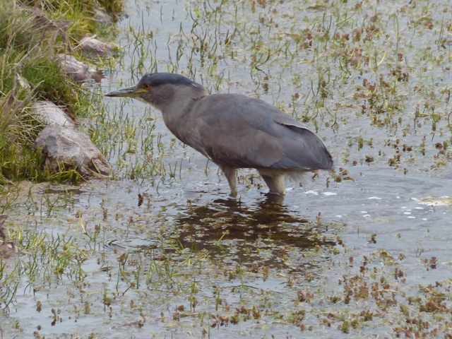 [Juvenile] Black Crowned Night Heron