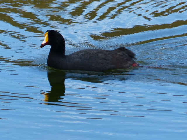 Giant Coot