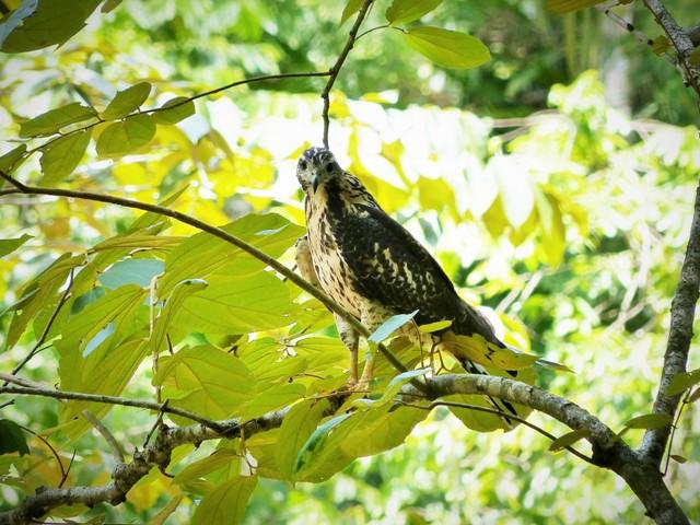 [Juvenile] Mangrove Black Hawk